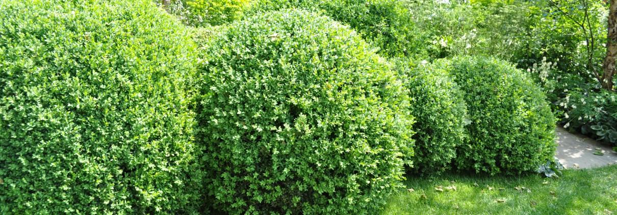 Gartentipps buchsbaum mei ner gartengestaltung gmbh - Gartengestaltung mit buchsbaum ...